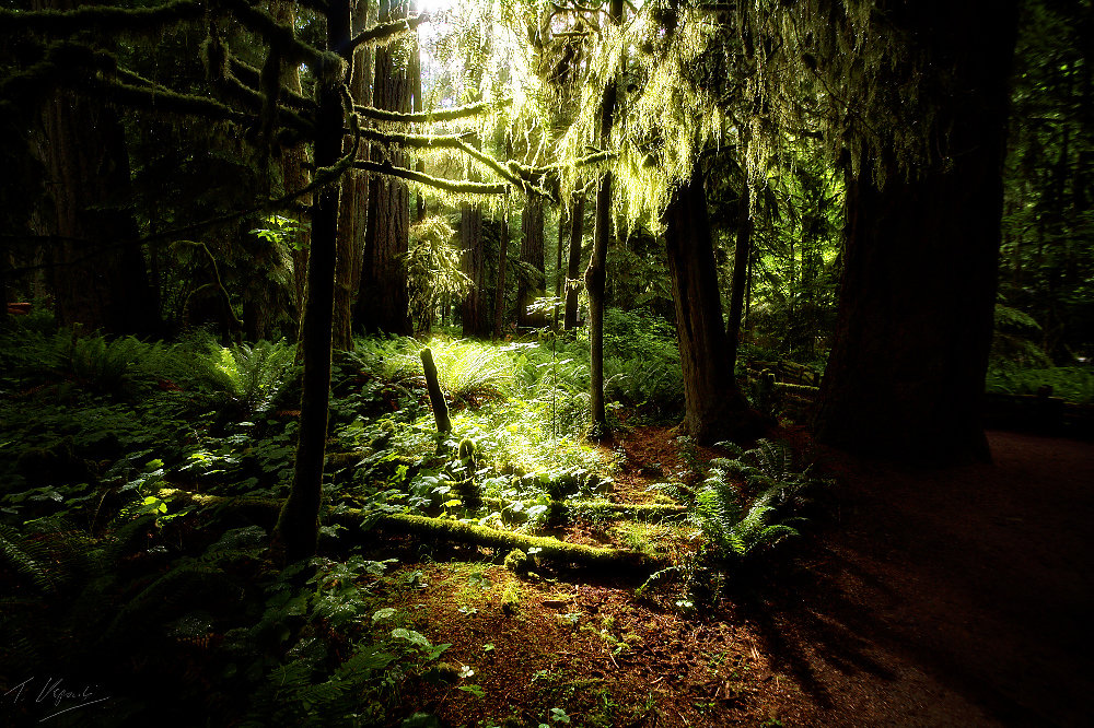 Cathedral Grove, Canada